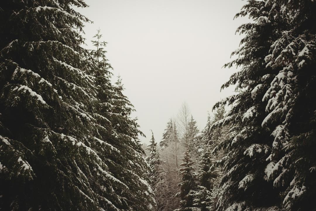 Pine trees covered in snow during winter Free Stock Images from PikWizard