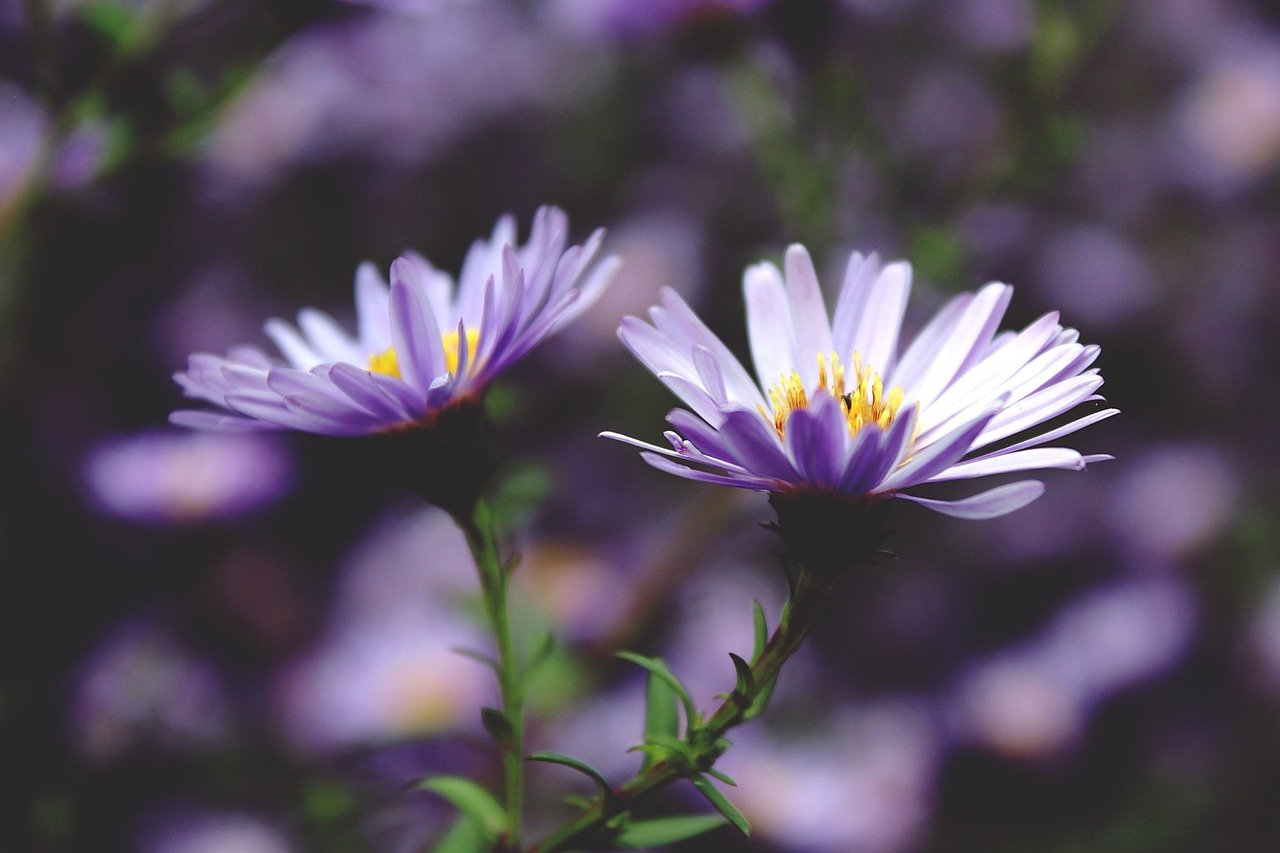 FREE aster Stock Photos from PikWizard