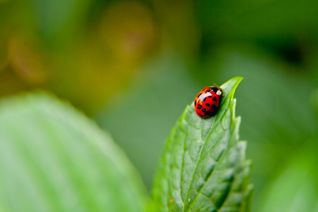 Close up natural photograph of a red ladybug on a green leaf