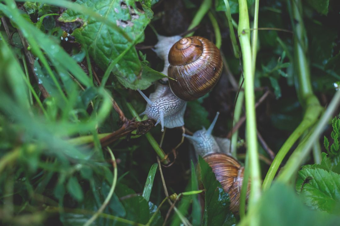 Acorn Fruit Snail
