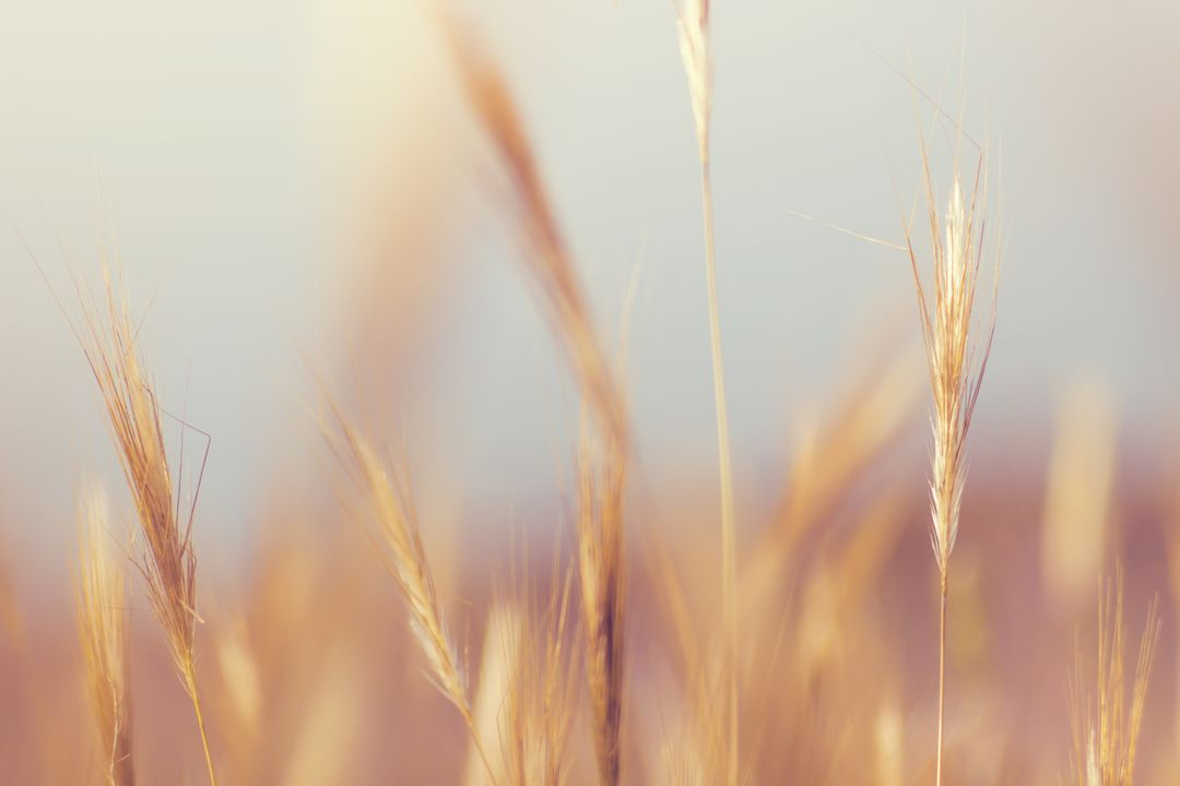 Wheat Crop Farmland Blur Free Photo