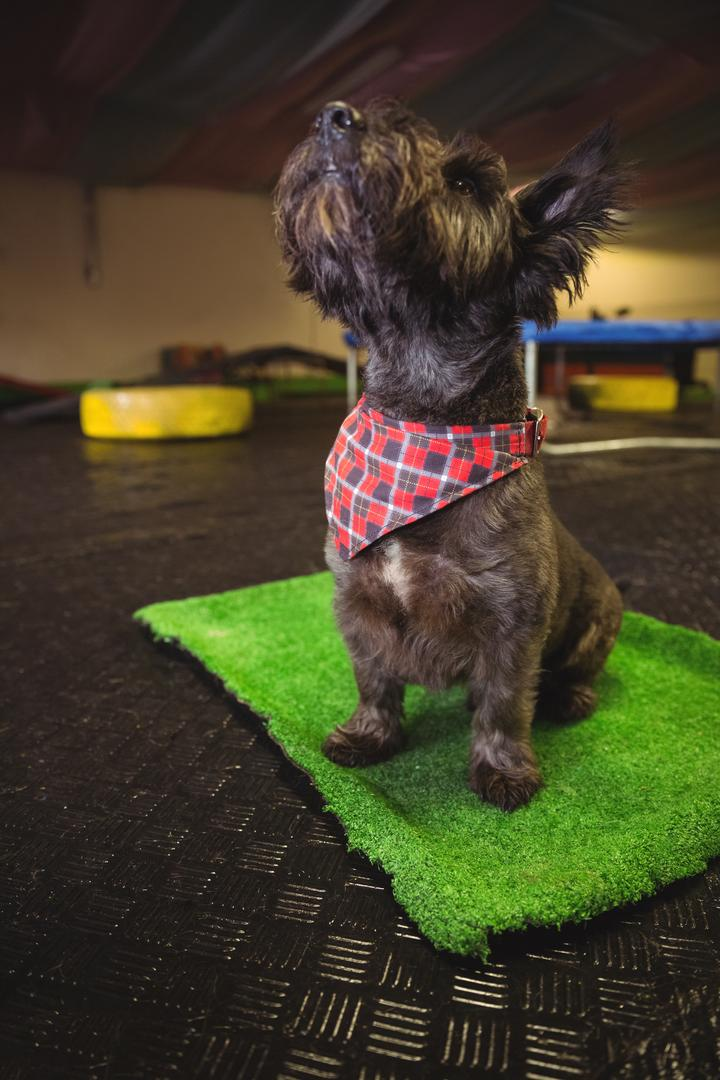 Shih tzu puppy sitting on mat and looking up at dog care centre