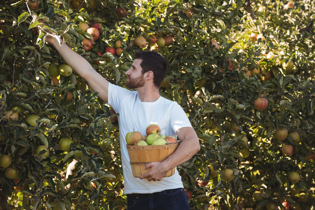 Male farmer collecting apples in apple orchard on a sunny day Free Stock Images from PikWizard