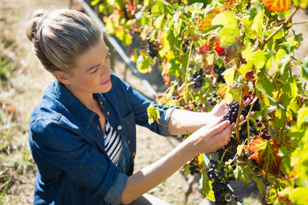 Female vintner examining grapes in vineyard on a sunny day Free Stock Images from PikWizard