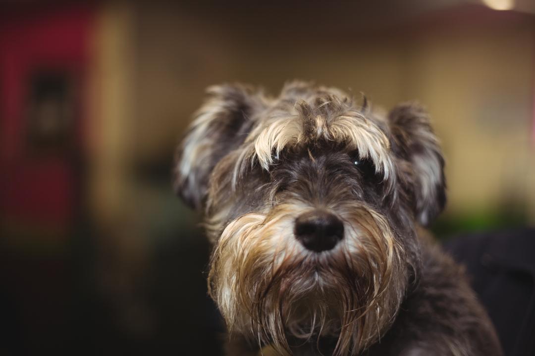 Close-up of cairn terrier puppy
