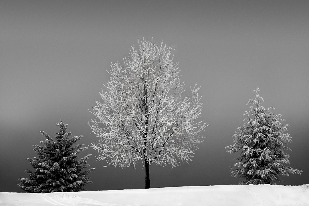 Winter landscape with white trees and snow