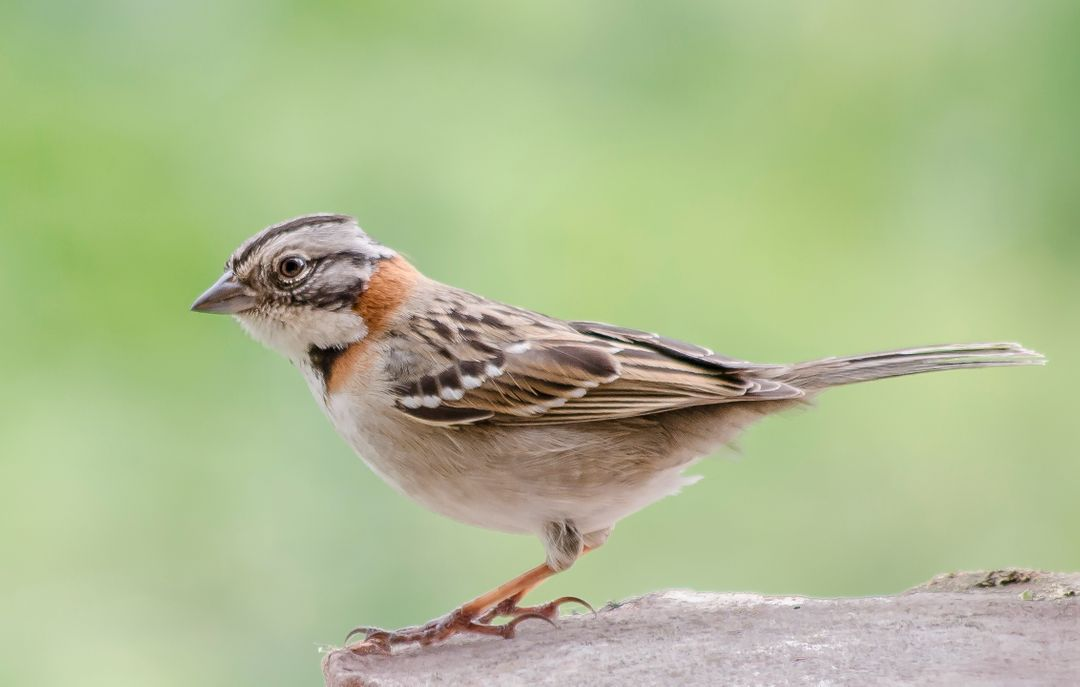 Brambling Finch Bird