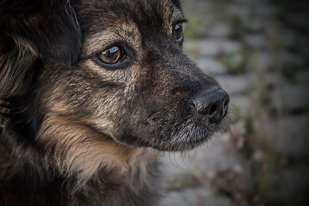Norwegian elkhound Hound Hunting dog