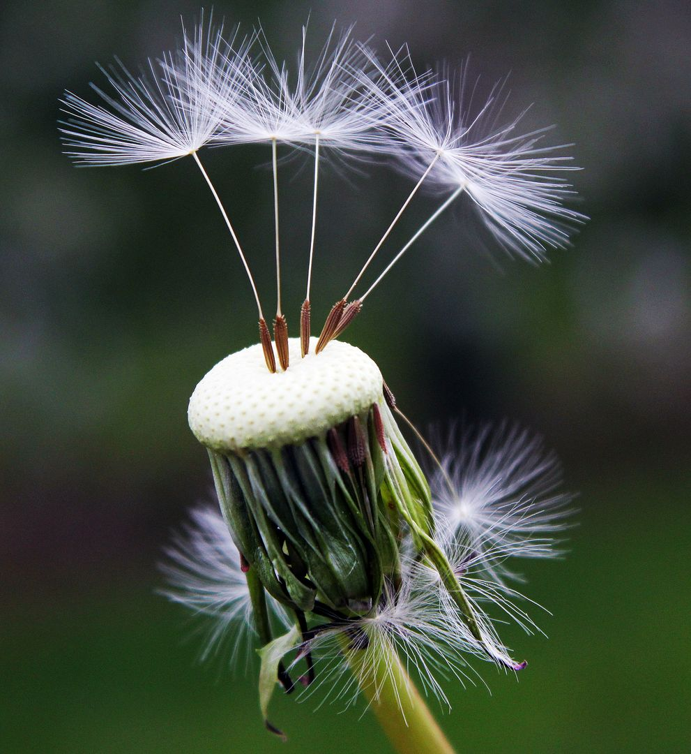 Close Up Photography of White Dandelion Seed