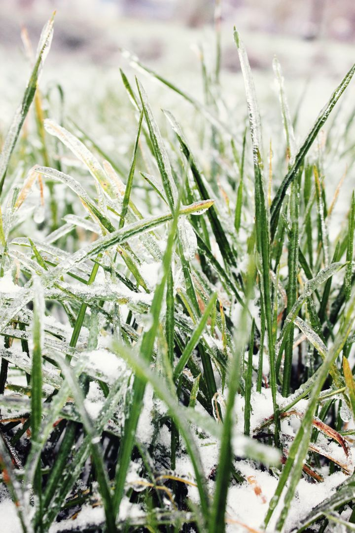 Grass in Ice