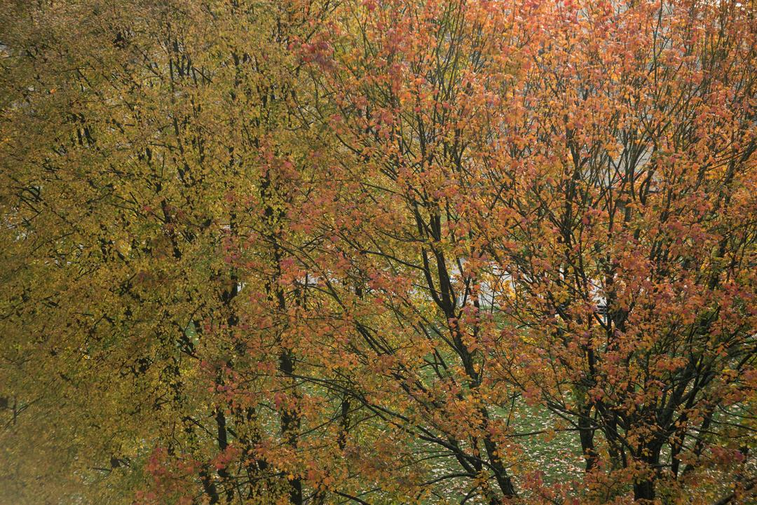 View of birch tree with orange leaves during autumn season
