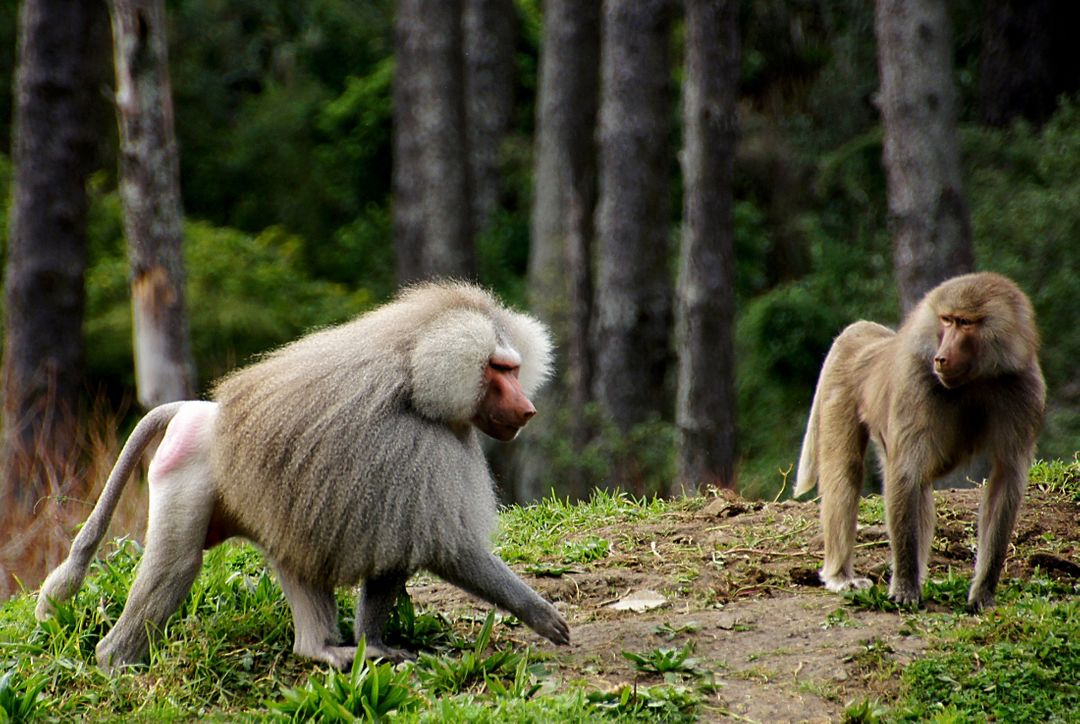 Africa animals baboons furry