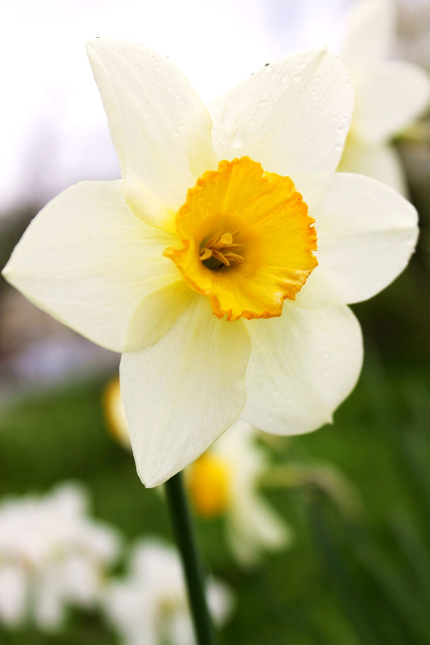 FREE narcissus image