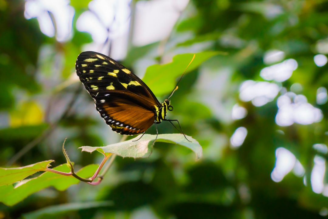 Butterfly Monarch Insect
