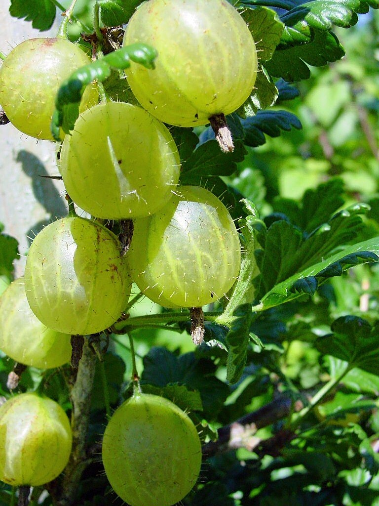 FREE gooseberry Stock Photos from PikWizard