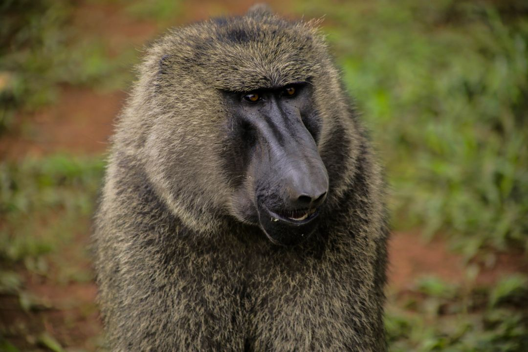 Animal animal photography animal portrait baboon