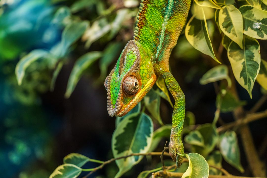 Green Chameleon on Green Leaved Tree