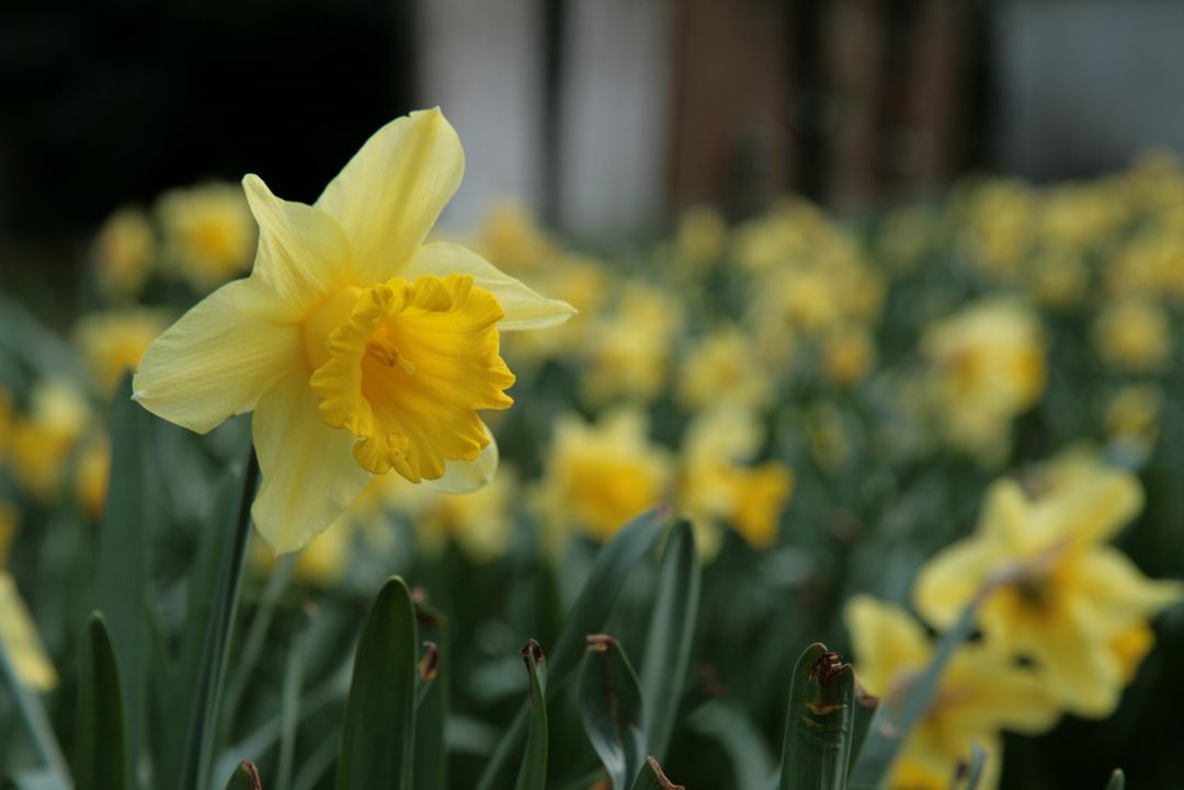 Close-up of Yellow Daffodil Blooming Outdoors
