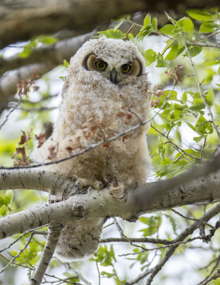 Chick great horned owl looking nature