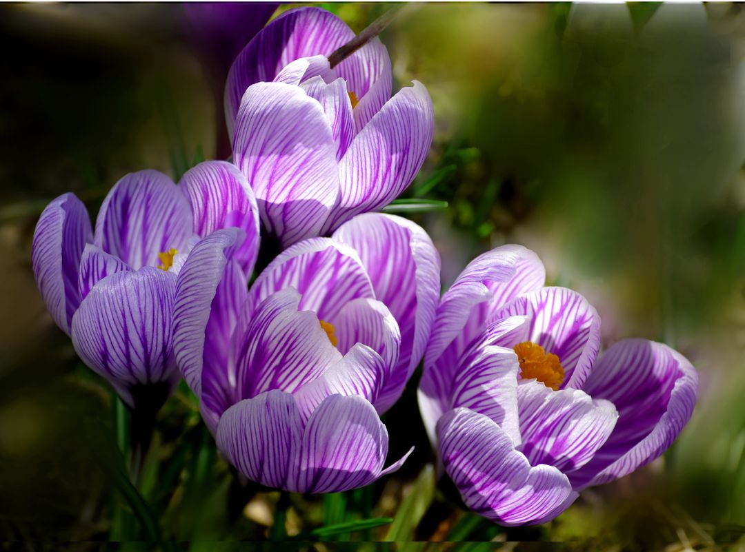 Close-up of Purple Crocus Blooming Outdoors