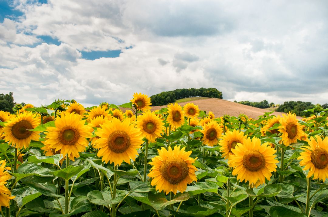 Landscape nature sunflowers sky