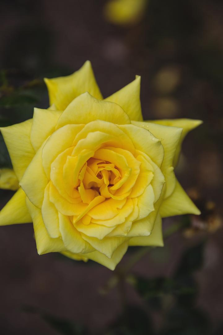 Close-up of yellow rose, backgrounds
