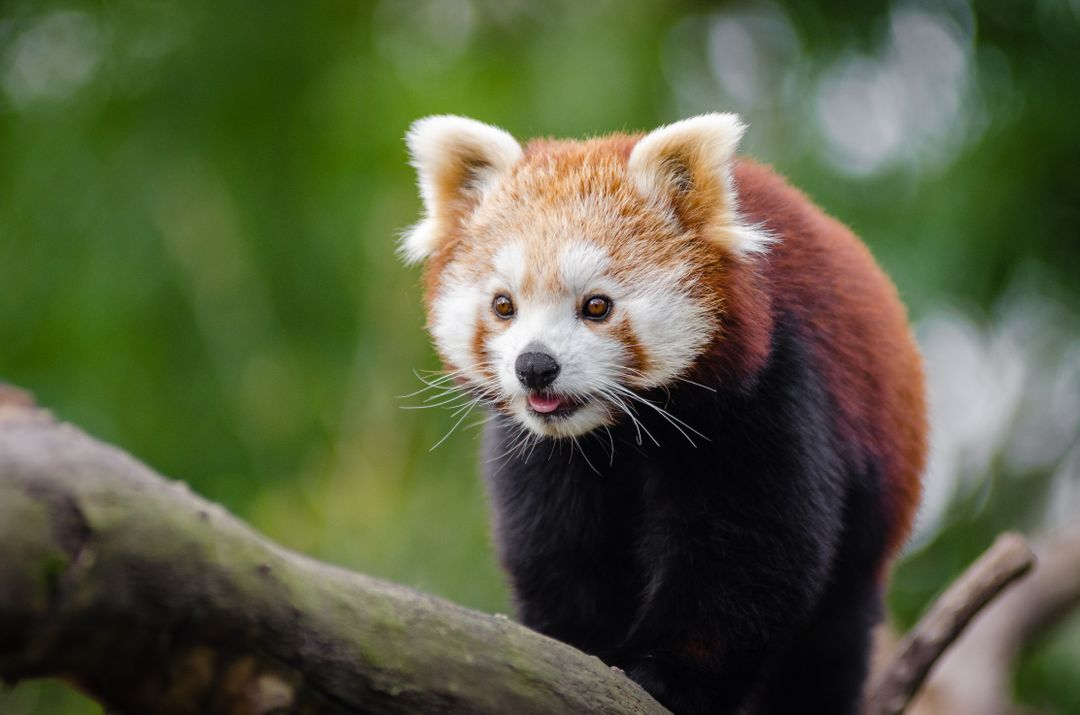 Red Panda at Daytime
