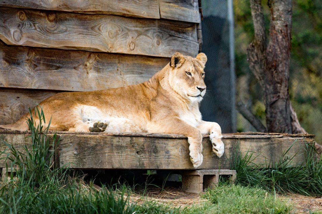 Lion on Wood