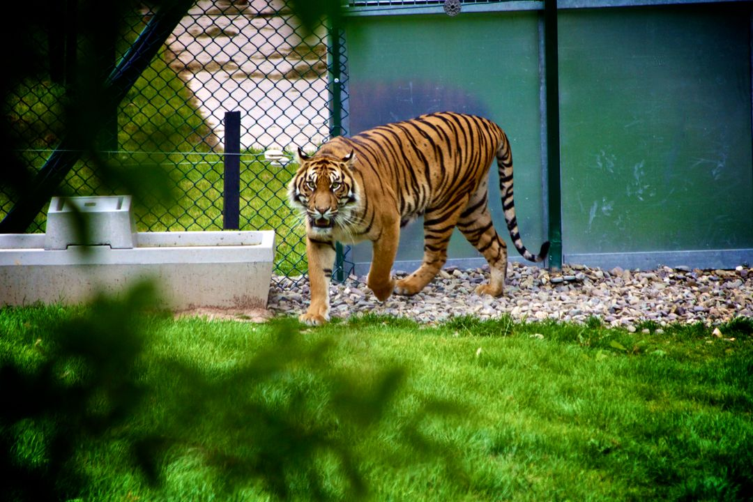 Tiger animal zoo