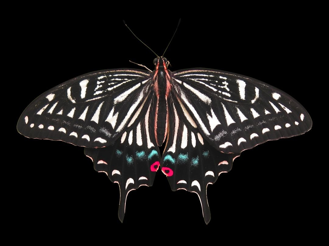 Close-up of Butterfly over Black Background