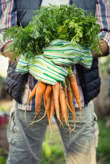 Midsection of male worker holding fresh organic carrots bunch at farm