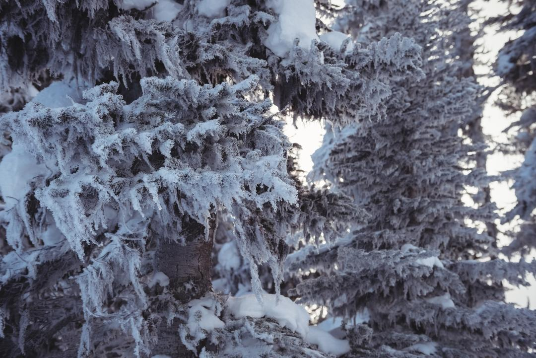 Snowy pine trees on the alp mountain during winter Free Stock Images from PikWizard