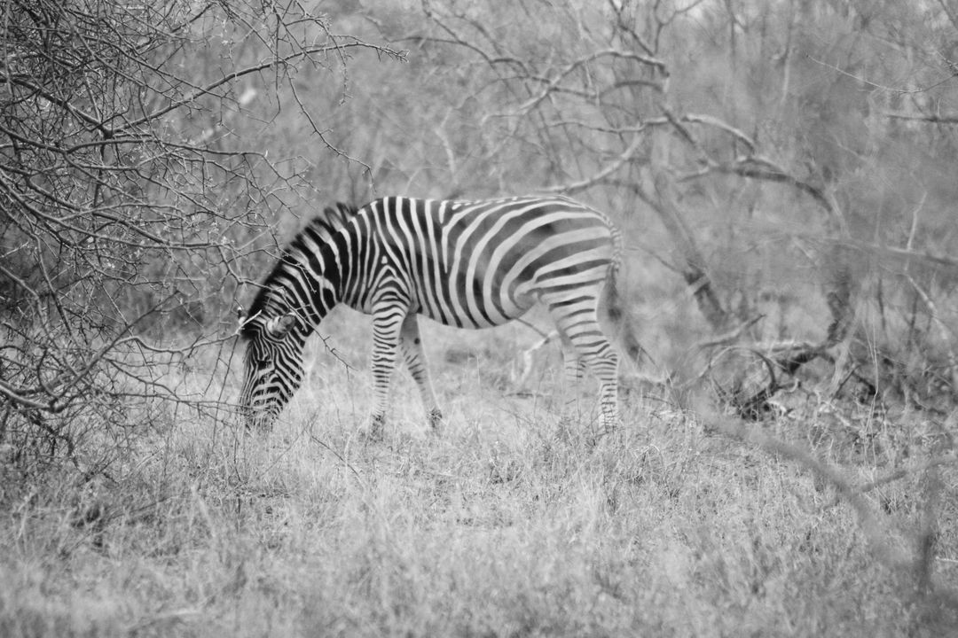Equine Zebra Ungulate