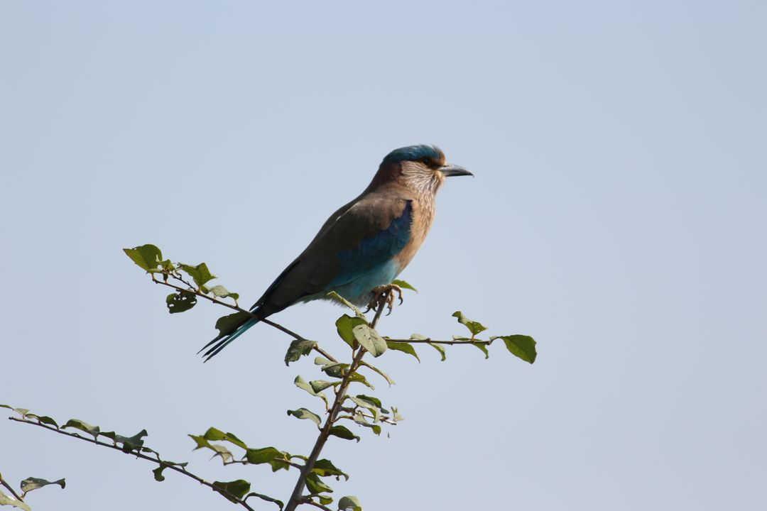 Bird Finch Jay