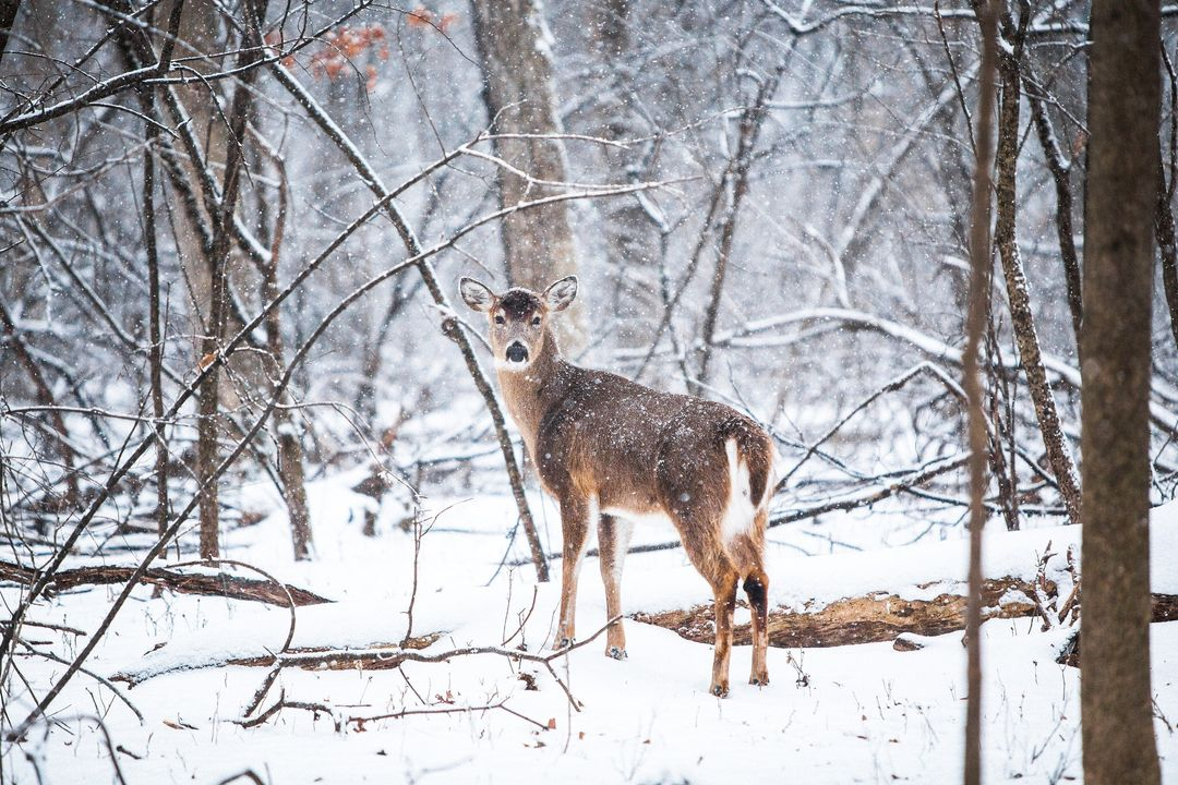 Deer on Snowy Field Under Bare Trees during Daytime