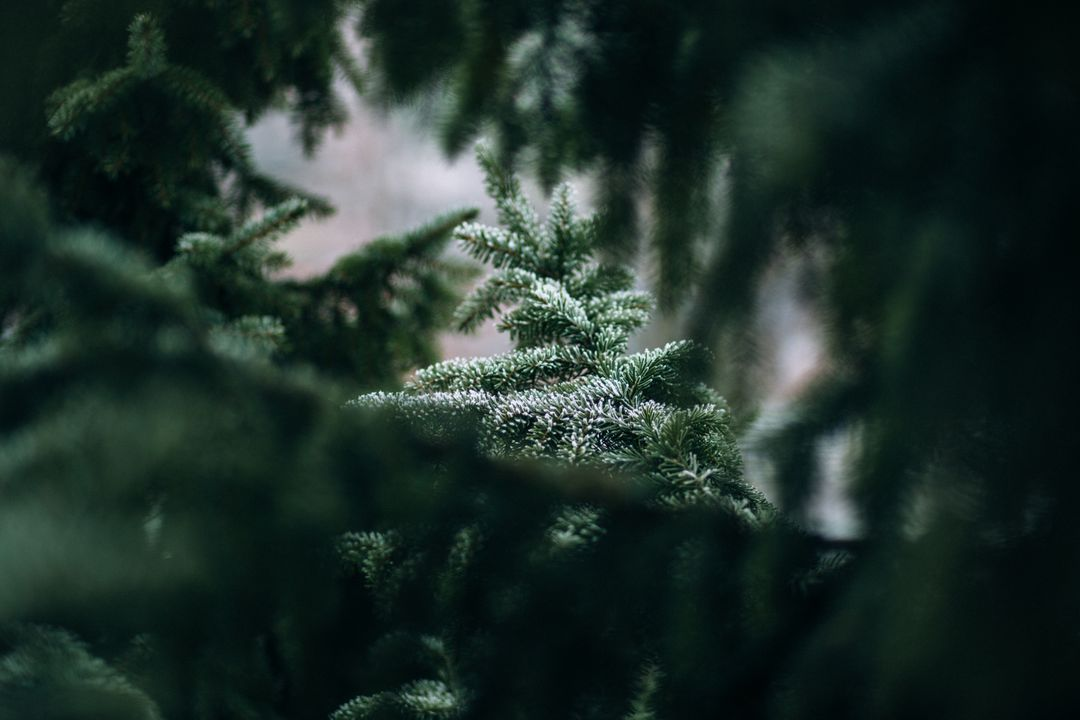 Blur branches conifer environment