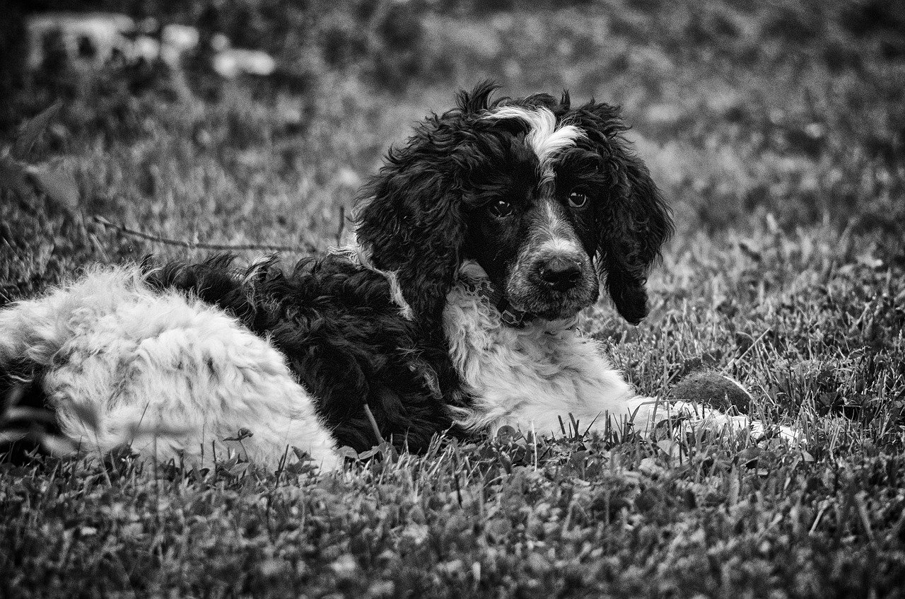 FREE english springer Stock Photos from PikWizard