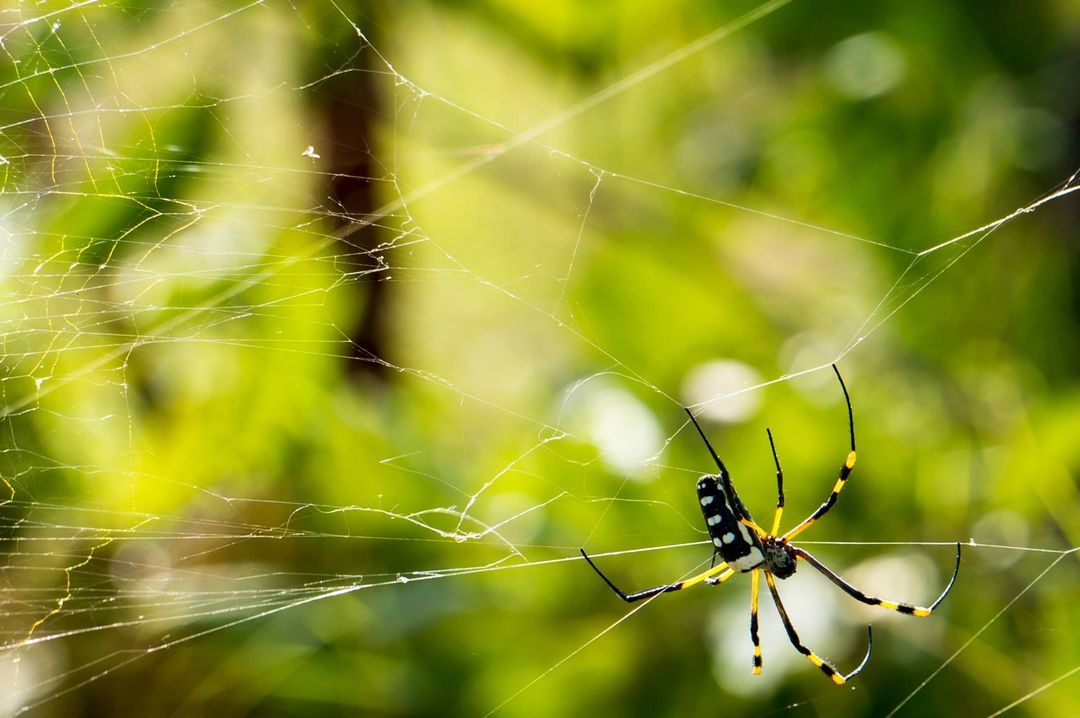 Green Yellow Black and White Spider