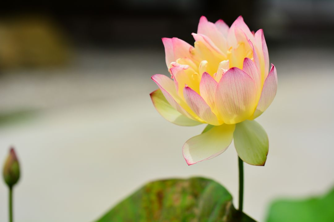 Water Lily Pink