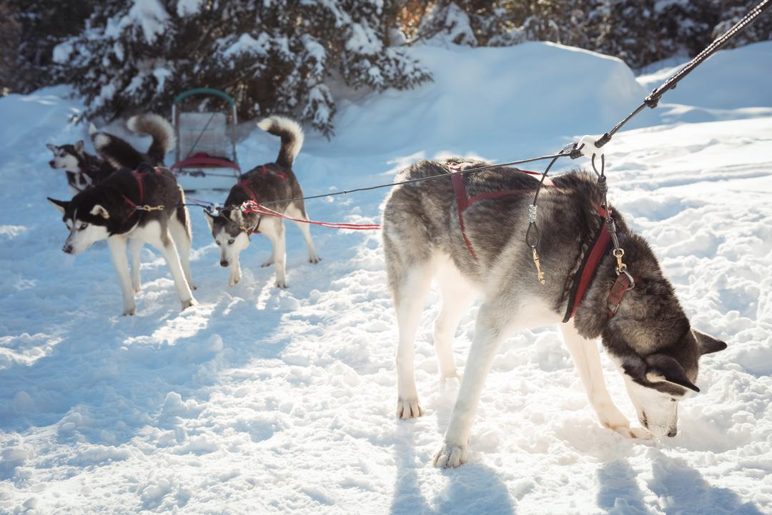 Group of Siberian husky dogs waiting for the sledge ride