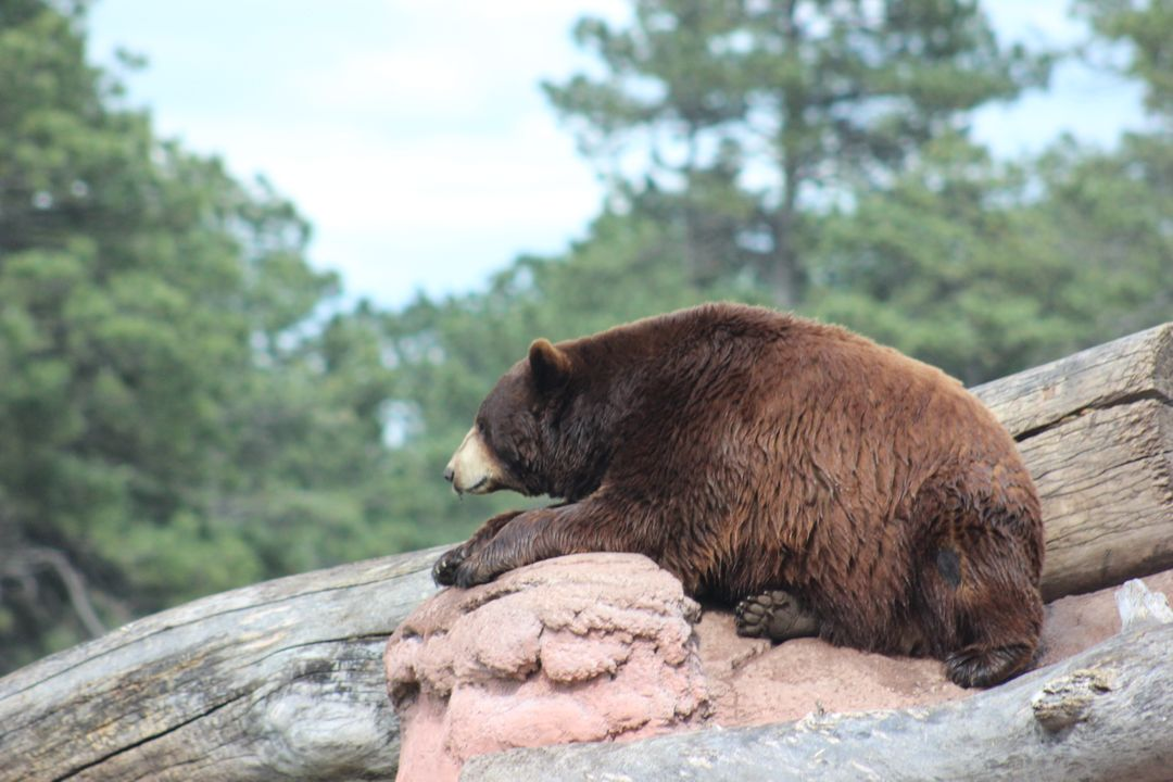 Brown bear Bear Mammal