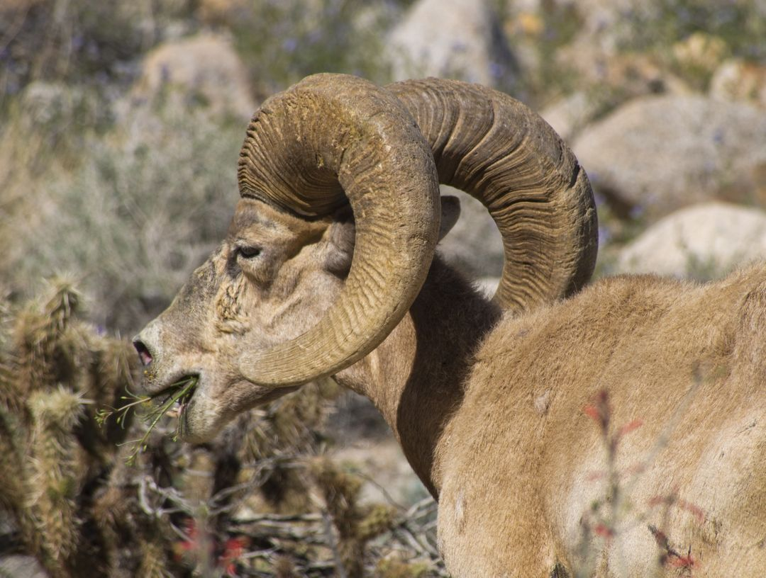 Sheep with Bighorn