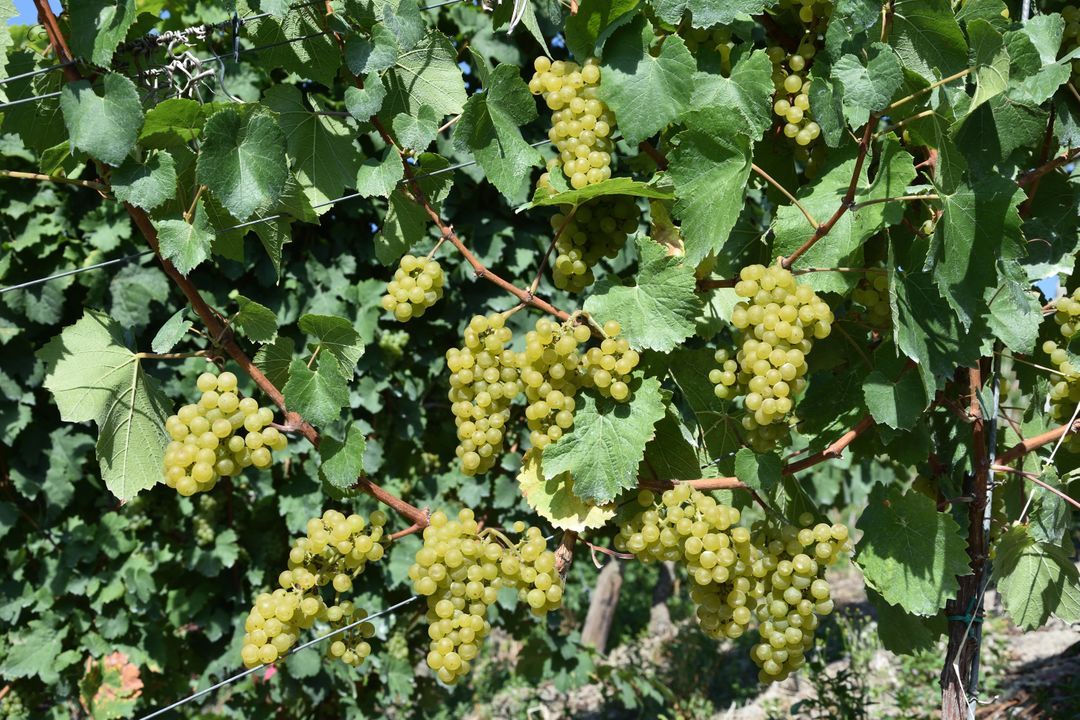 Grape grape harvest grapes grapevine