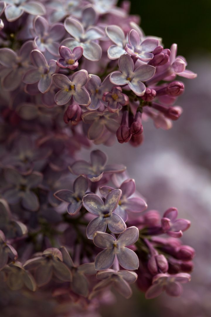 Flowers lilac nature