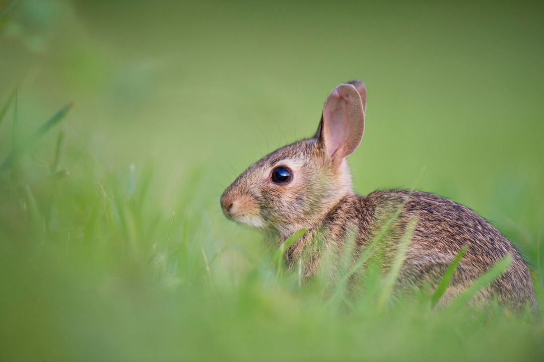 Brown Rabbit on Green Grasss