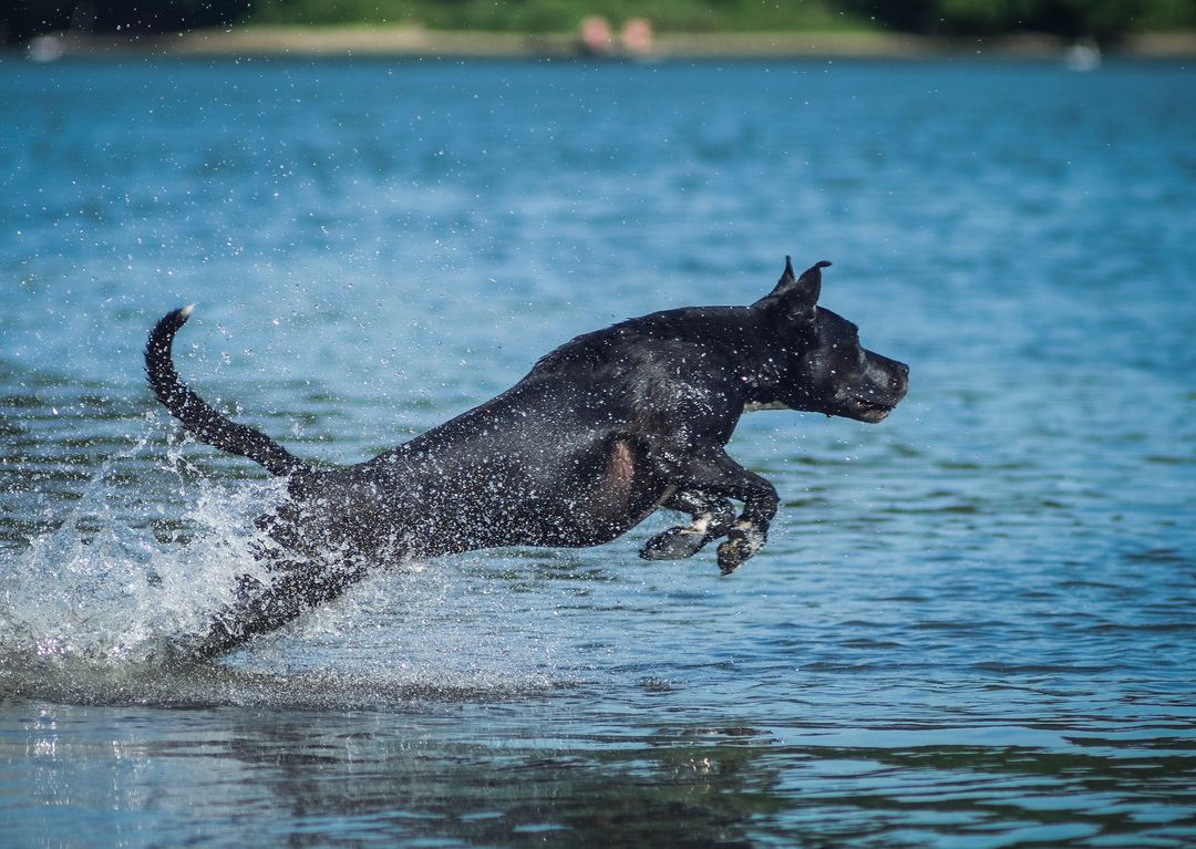Curly-coated retriever Sporting dog American alligator