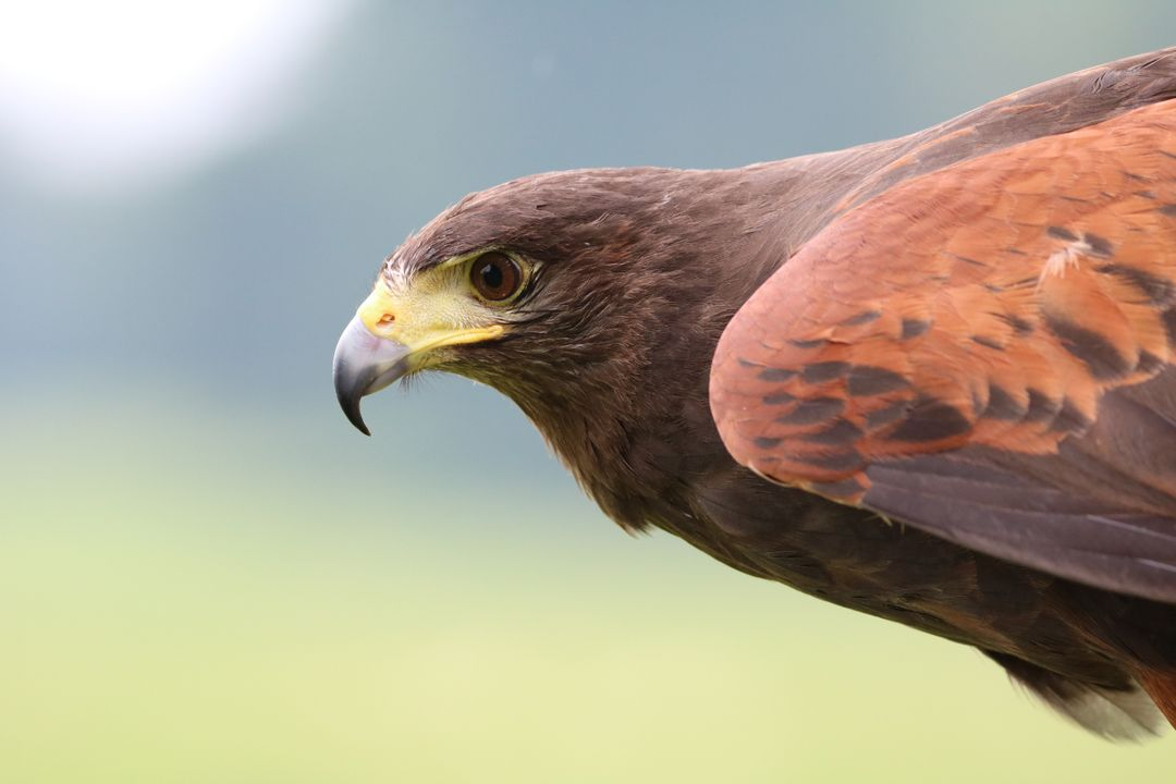 Brown Hawk on Focus Photo