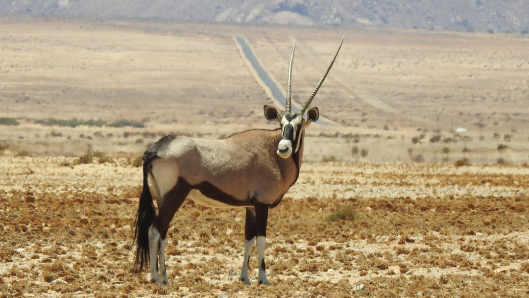 Africa animal antelope arid