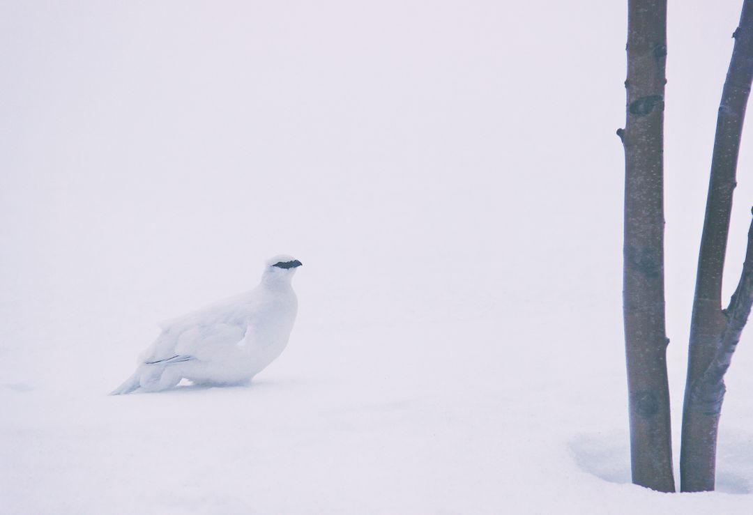 Ptarmigan Grouse Game bird