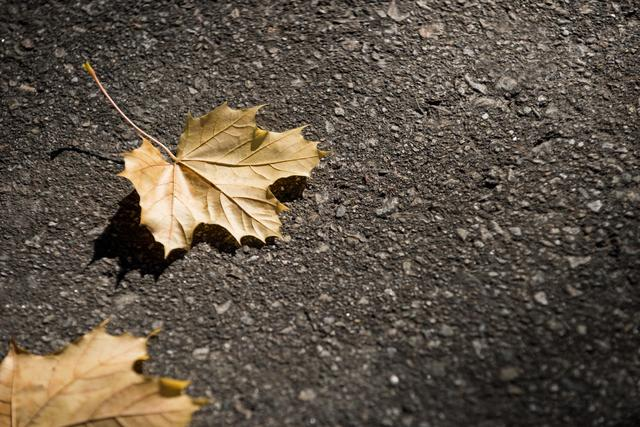 Dried maple leaf fallen on the road